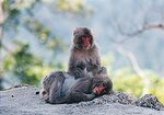 Miyajima Monkeys