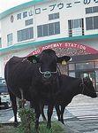 阿蘇山の牛